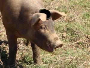 Shlomo the pig. He'll be at the SIOA hate rally too.